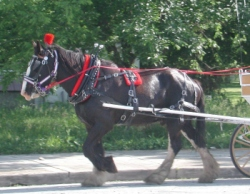 Draft horse harness, biothane harness, beta harness, leather harness