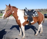 Draft horse ultimate black silver show saddle